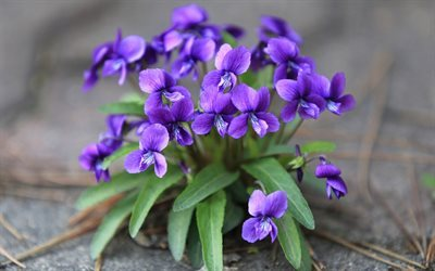 violet, beautiful flowers, wood violet, purple flower, forest
