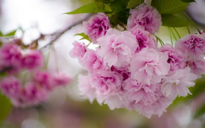cherry blossom, sakura, pink spring flowers, garden, beautiful flowers, spring