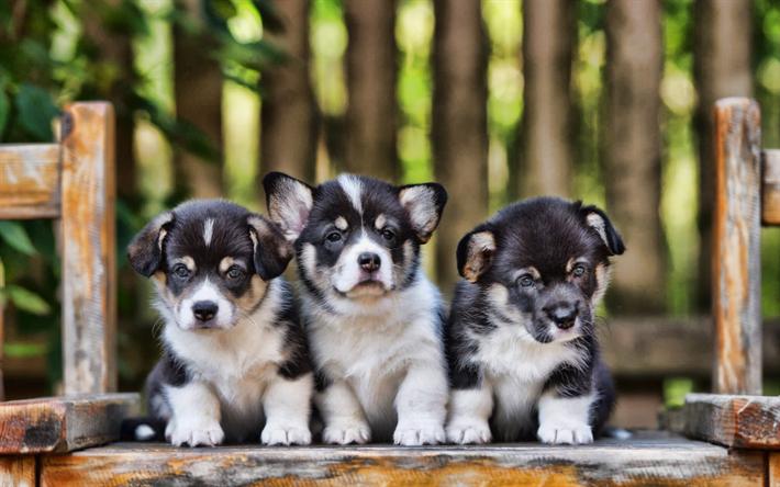 Welsh Corgi Dogs Gray