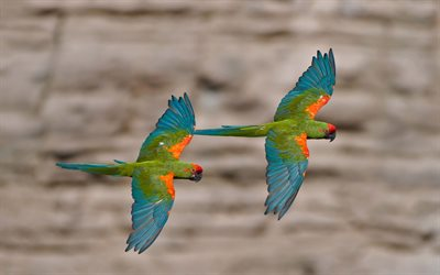 Red-fronted macaw, macaw pair, parrot pair, beautiful birds, macaw, Bolivia
