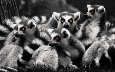Lemurs, family, wildlife, monochrome