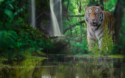 Tiger, wildlife, predator, jungle, river, forest