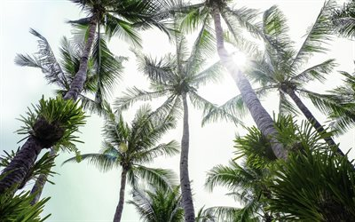 tall palms, blue sky, coconuts, palm leaves, tropical island, palm trees