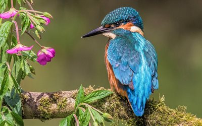 Kingfisher, blue bird, close-up, wildlife, small bird, Alcedinidae