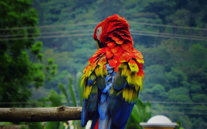 Scarlet macaw, wildlife, parrots, red parrot, close-up, Ara macao, macaw