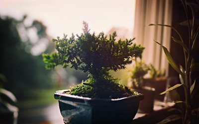 bonsai, small tree, dwarf trees, tree in a pot, growing plants concepts