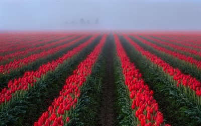 field with tulips, red tulips, wildflowers, morning, fog, Netherlands, beautiful flower field, tulips