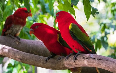 Loriinae, parrots, red birds, red parrots, tropical birds, Southeast Asia