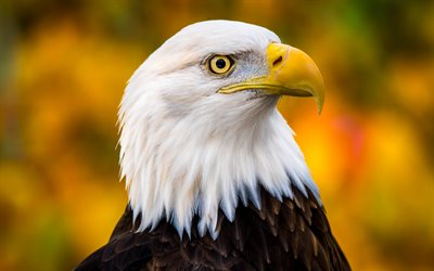 Bald eagle, bird of prey, vackra fåglar, amerikansk symbol, eagles