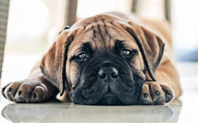 Bullmastiff, puppy, cute animals, dogs, small bullmastiff, cute puppy, bullmastiff dog