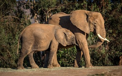elephants, family, wildlife, africa, evening, sunset, elephant, wild animals