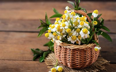 basket with daisies, beautiful white flowers, basket with flowers, daisies