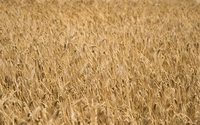 wheat field, ears of wheat, harvesting, wheat, summer