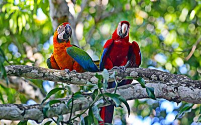 Hyacinth macaw, two parrots, jungle, wildlife, red macaw, Anodorhynchus hyacinthinus, parrots, macaw