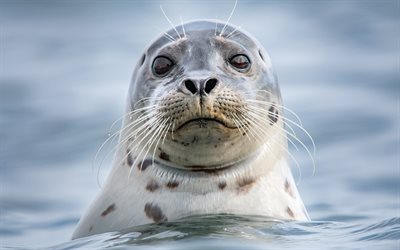 Seal, wildlife, close-up, funny animals, Phocidae, sea, seals