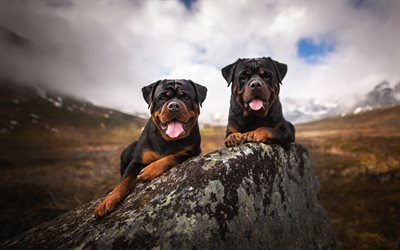 rottweiler, black dogs, pets, mountains, dogs, German breeds of dogs