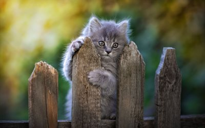 Gray Persian Cat, cute animals, kitten on fence, kitten, cats, domestic cats, pets, gray cat, Persian Cat