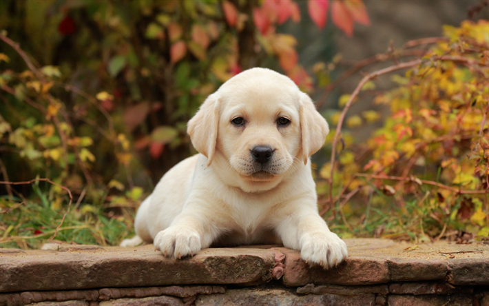 Download Wallpapers Small Golden Retriever Puppy Close Up