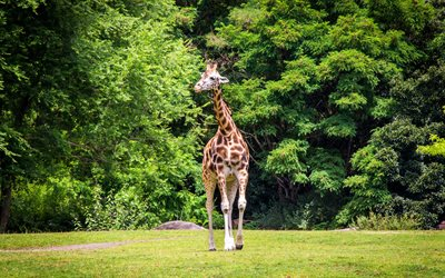 giraffe, wildlife, wild animals, Africa, green trees, african animals