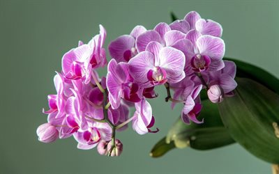 pink orchid, orchid branch, tropical flowers, orchids, floral background with orchids