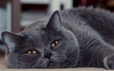 British shorthair cat, gray fluffy cat, domestic cats, cute animals, cats