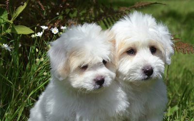 Havanese, Bichon, white fluffy puppies, 4k, cute dogs, puppies