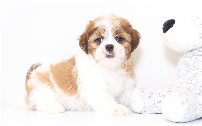 Best Shih Tzu Anime Adorable Dog - thumb2-shih-tzu-puppy-small-cute-dog-white-brown-puppy-pets  HD_336733  .jpg