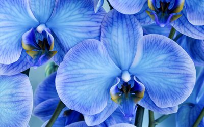 blue orchids, background with orchids, beautiful blue flowers, orchids, tropical flowers
