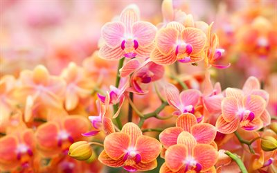 orange orchids, buds, branches, beautiful flowers, orchids