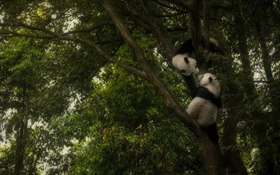 two pandas, cub, cute animals, wildlife, Ailuropoda melanoleuca, lying panda, pandas on tree, funny animals, panda