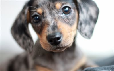 Download Wallpapers Dachshund 4k Dogs Cute Animals