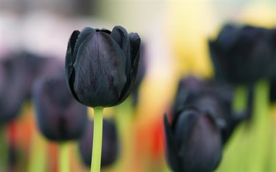 tulips, blur, close-up, buds, black tulip