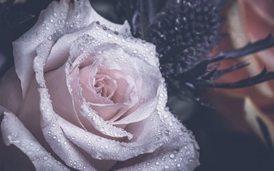 pink rose, water drops, rose bud, beautiful pink flower