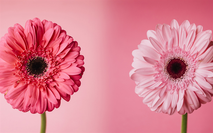 Download wallpapers gerbera pink flowers pink floral background gerbera pink flowers pink floral background beautiful flowers mightylinksfo
