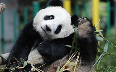 Panda, bamboo, cute bear cub, big panda, forest animals, China