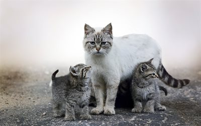 kittens and cat, cute animals, cats, mother and cub, British shorthair cat