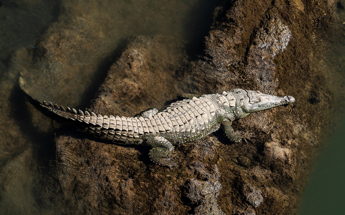 crocodile, river, top view, reptile, predator, alligator, wildlife
