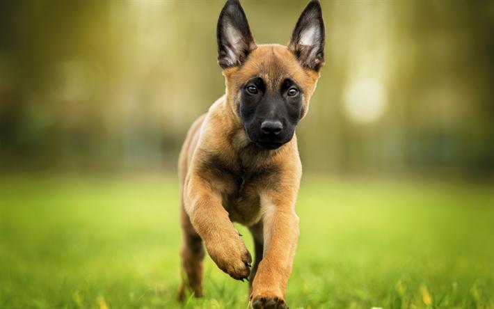 Herunterladen hintergrundbild malinois hund belgischer for Minimalismus haustiere