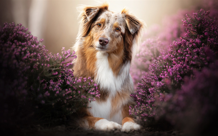 Brown Aussie, lavender, close-up, bokeh, Australian Shepherd, pets, dogs, cute animals, Aussie, Australian Shepherd Dog, Aussie Dogs