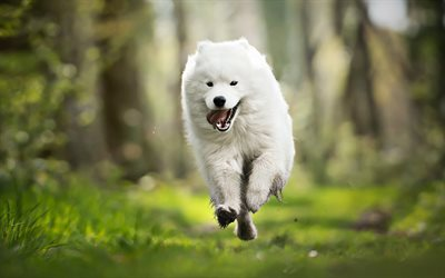 Running Samoyed, forest, white dog, summer, cute animals, Samoyed, furry dog, dogs, pets, Samoyed Dog