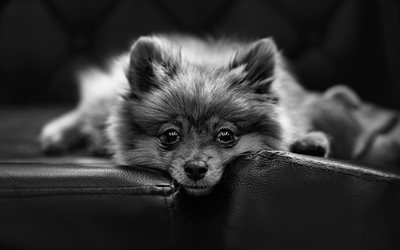 pomeranian, monochrome, dogs, boo, muzzle, cute animals