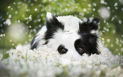Border Collie, Puppy, dog, cute animals, green grass