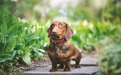Dachshund, cute animals, dogs