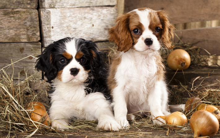 Cavalier King Charles Spaniel, small puppies, cute animals, small dogs, pets, British dog breeds