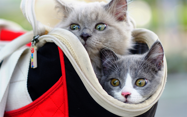 small kittens in a bag, cute funny animals, pets, little cats, British shorthair cats, gray fluffy kitten