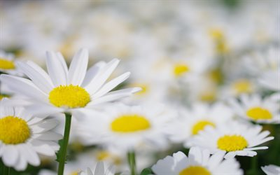 daisies, white petals, wildflowers, daisies background, white beautiful flowers