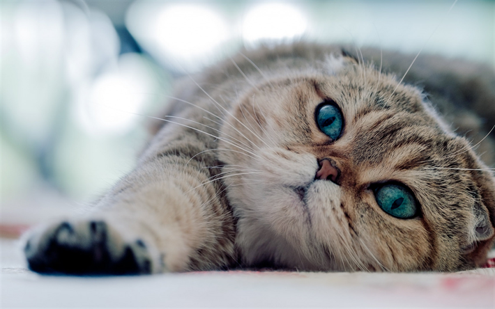 beautiful cat with blue eyes, Exotic Shorthair cat, beautiful eyes, pets, cats