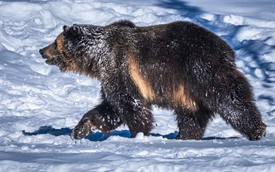 Grizzly, 4k, winter, wildlife, Grizzly bear, snowdrifts, bears, Ursus arctos horribilis