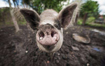 pig, bokeh, funny animals, piglet, blurred backgrounds, pigs