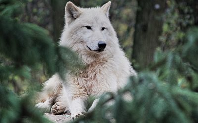 arctic wolf, predator, white wolf, wildlife, wolves, wild animals, forest animals, wolf